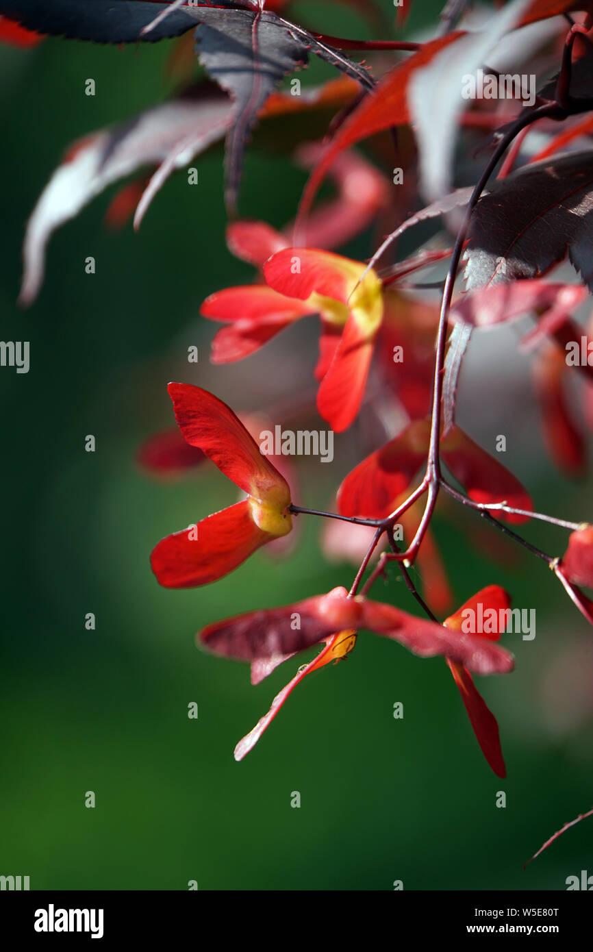 Japanischer Ahorn (Acer japonicum) - Blätter und Früchte Stock Photo
