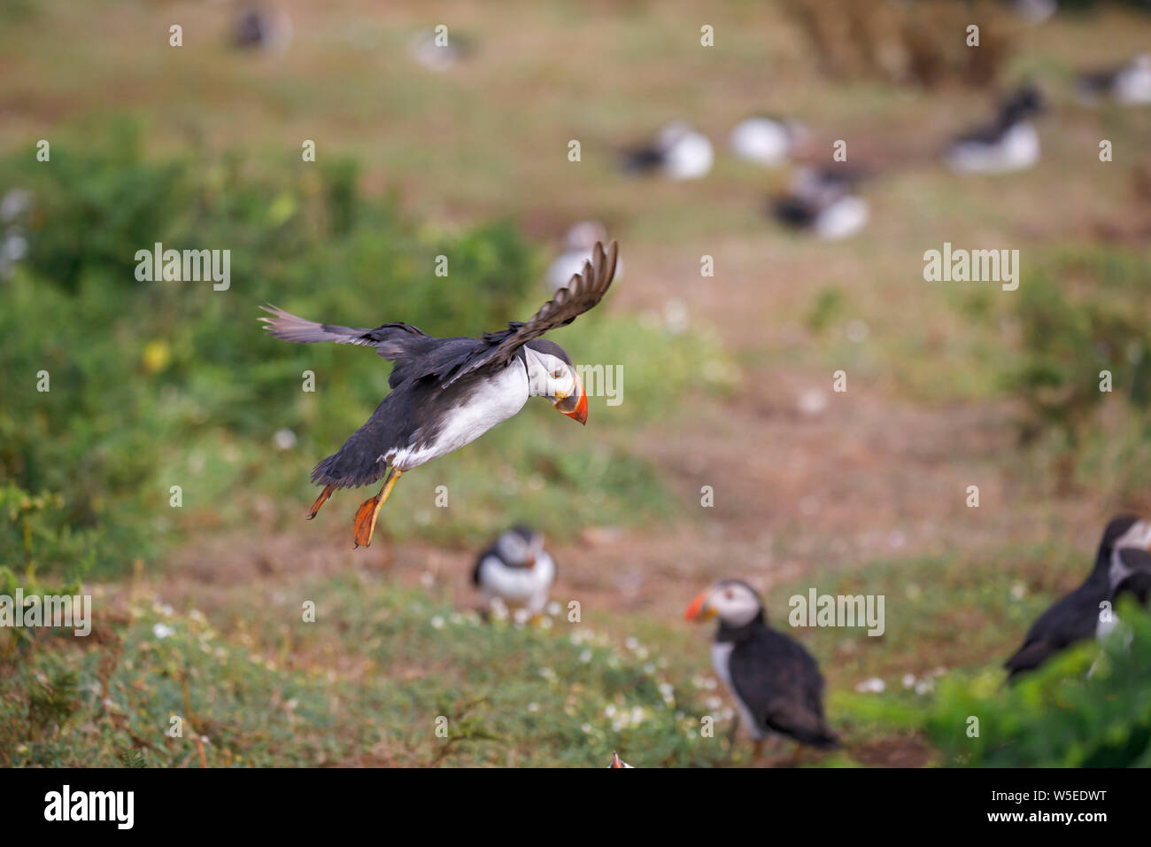 Atlantic puffin (common puffin, Fratercula arctica) in flight landing on Skomer, a nature reserve island off the west Wales coast in Pembrokeshire Stock Photo