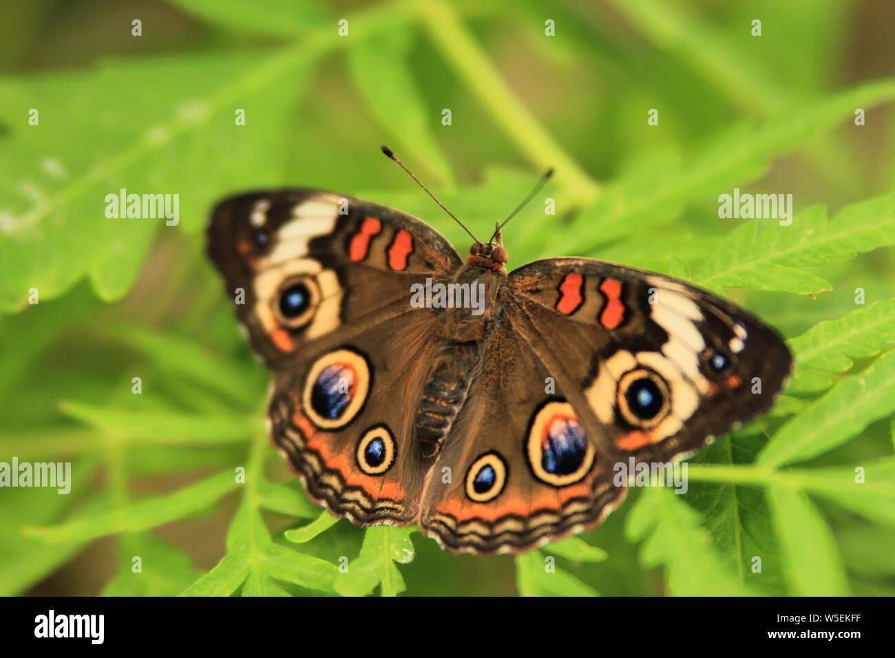 Junonia coenia - Common Buckeye butterfly with open wings Stock Photo