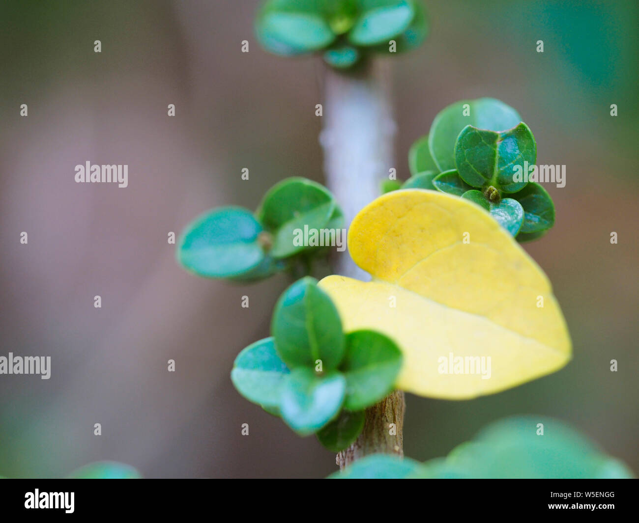 Green Leaves And Yellow Leaves Are Heart Shaped Leaves Of Bonsai Tree Close Up Bonsai Premna Stock Photo Alamy