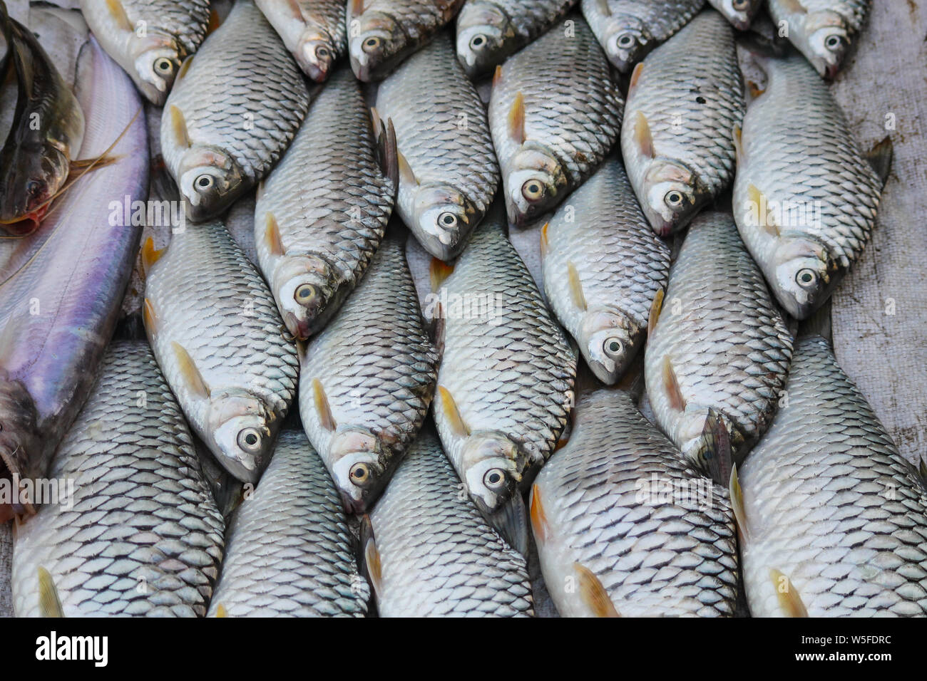 Fresh mekong river fishes sold in the Luang Prabang morning market in Laos which has become a tourist attraction Stock Photo