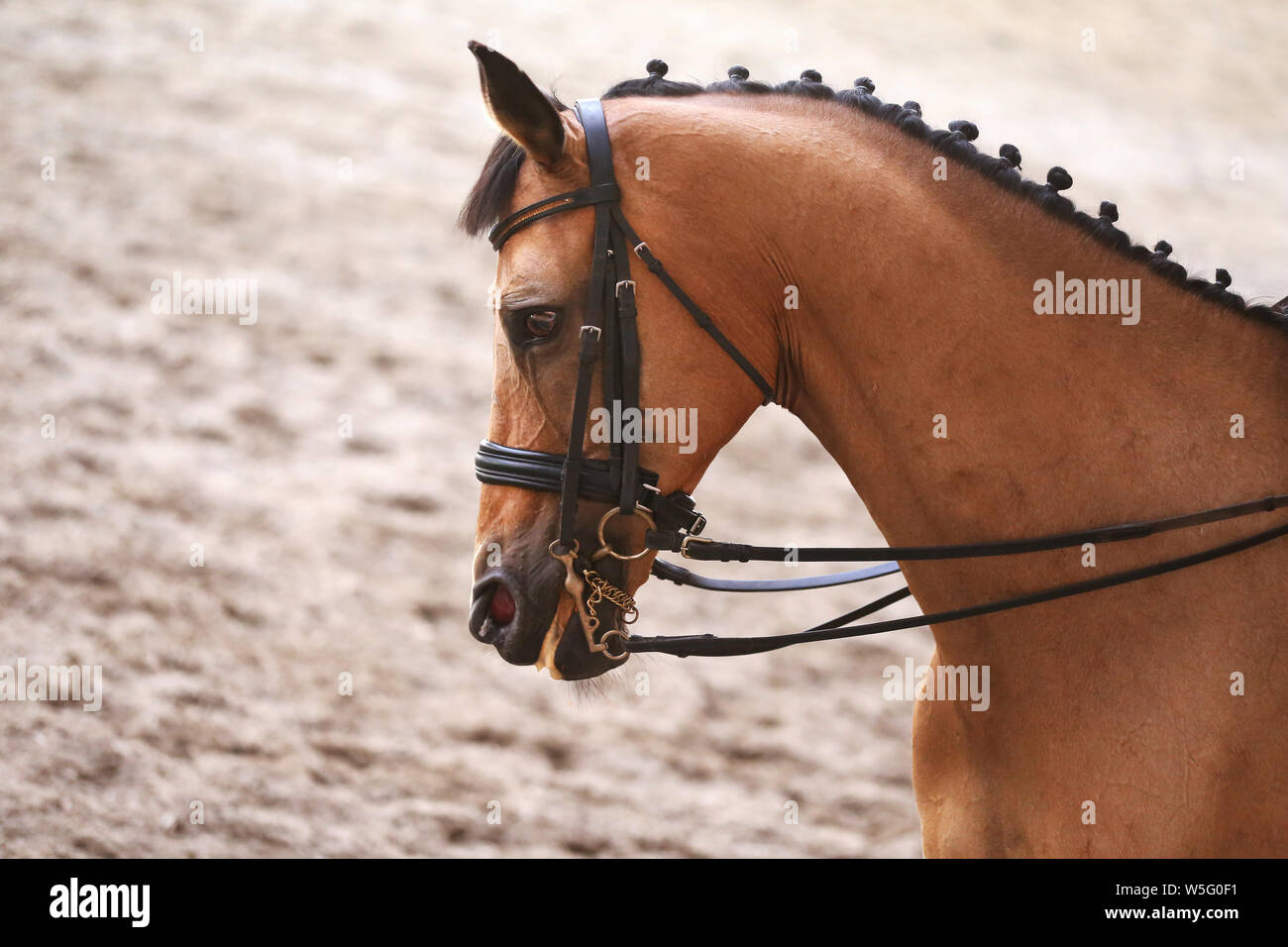 Portrait head shot close up of a beautiful purebred dressage horse during event indoors Stock Photo