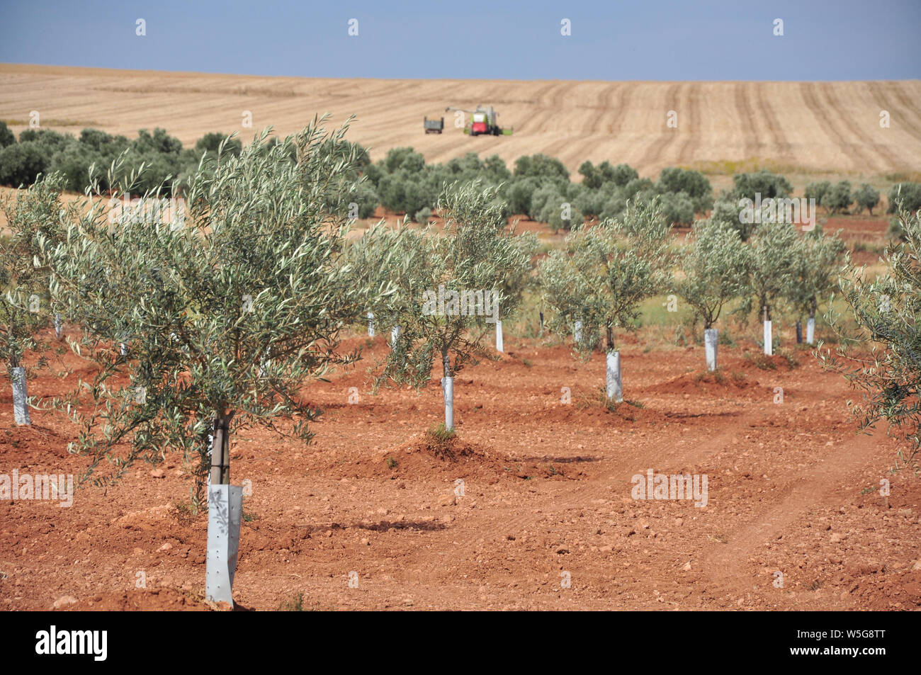 Spanish Agroculture. Olives trees plantation in Campillos, Andalucía. Wheat grain harvest in the background Stock Photo