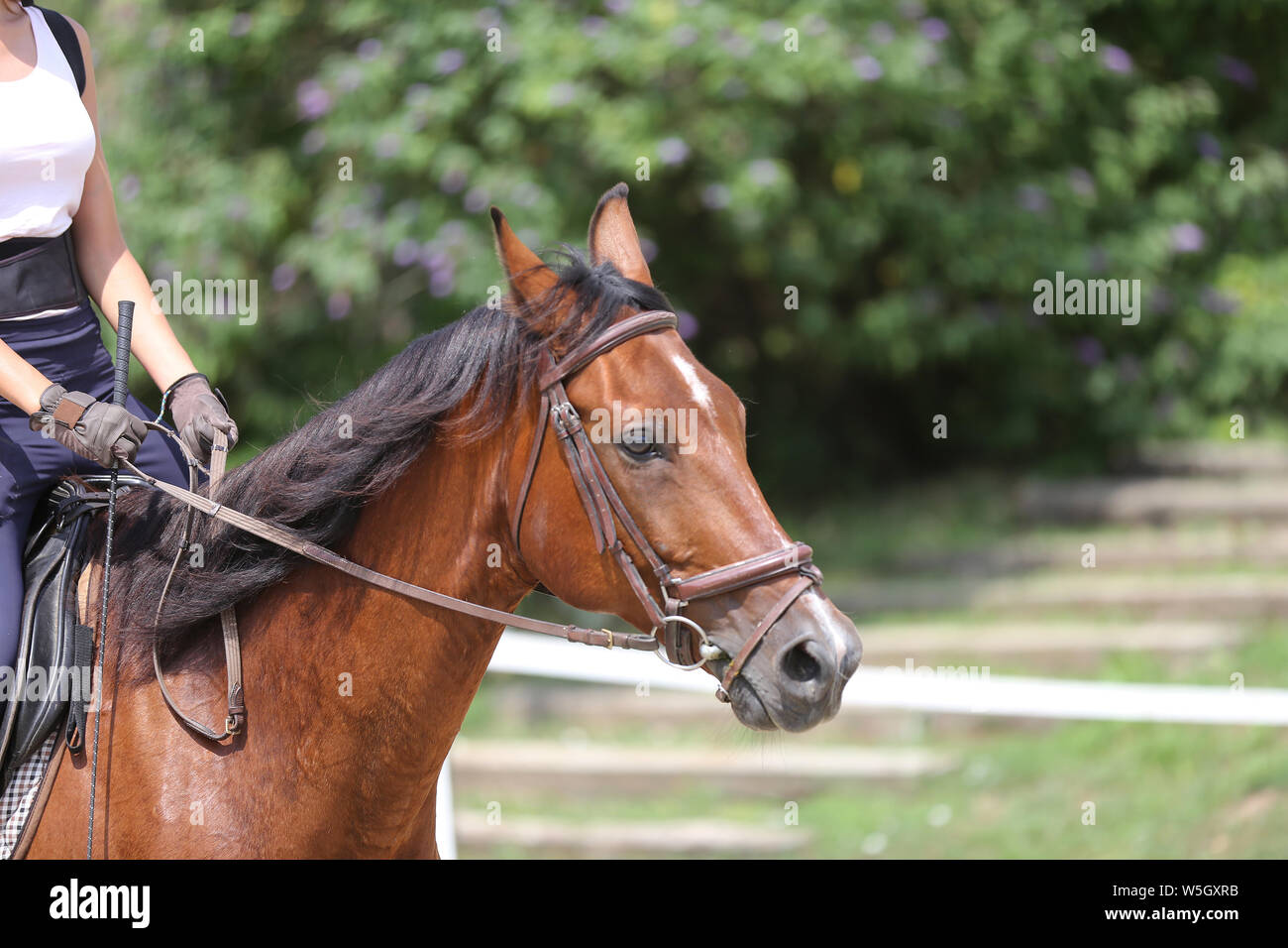 Portrait of a sport horse during dressage competition under saddle. Beautiful dressage horse portrait closeup during competition on natural background Stock Photo