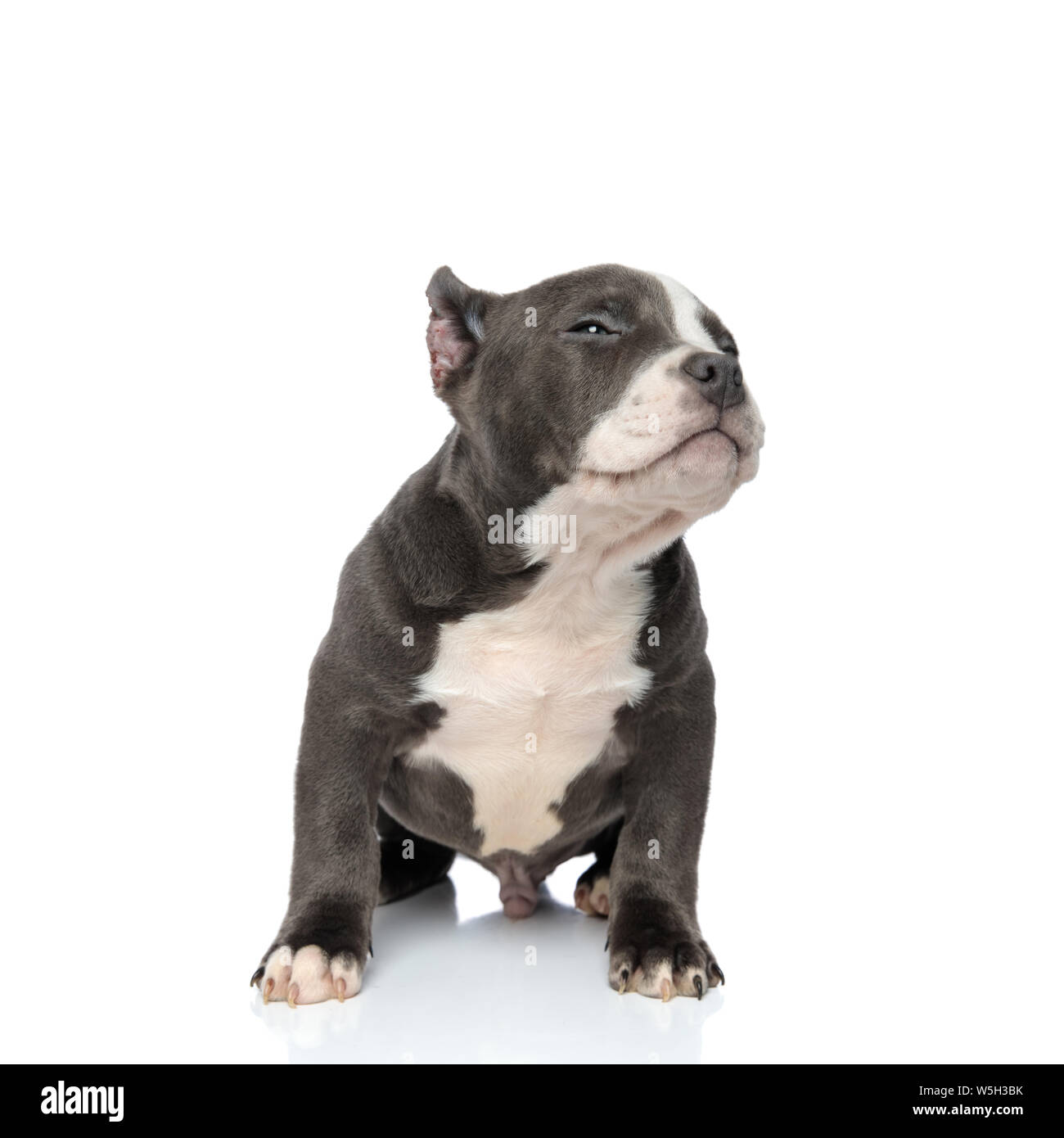 Concerned American Bully puppy looking and frowning to the