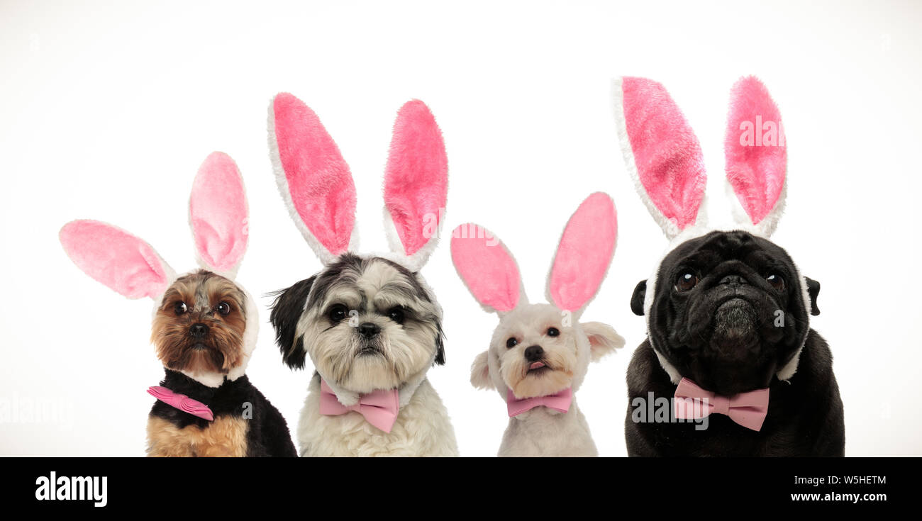 team of four cute little dogs wearing bunny ears for easter, on white background Stock Photo