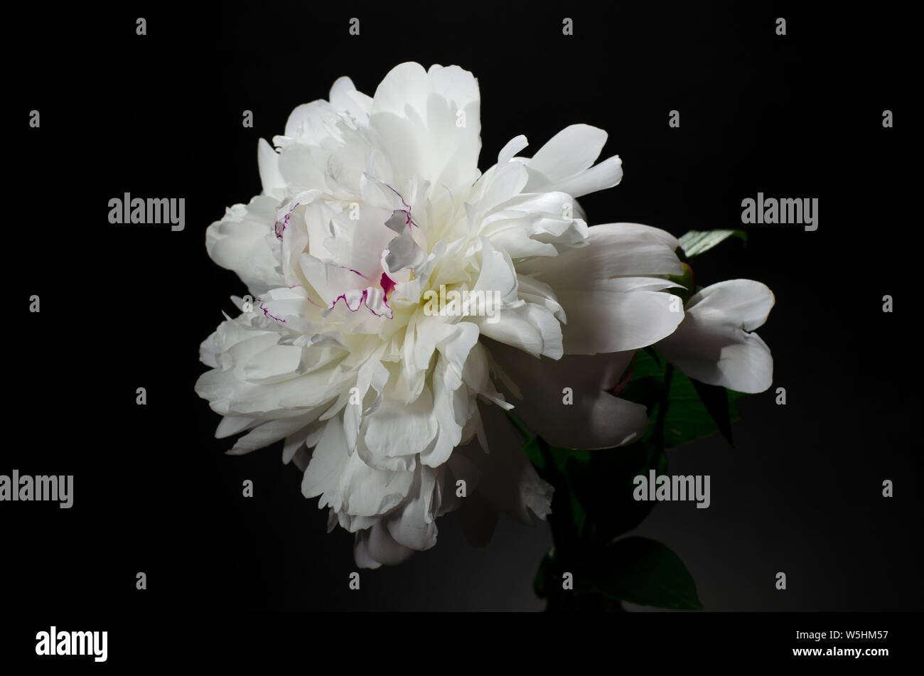 Big Bright Peony Against Black Backdrop Dark Moody Floral