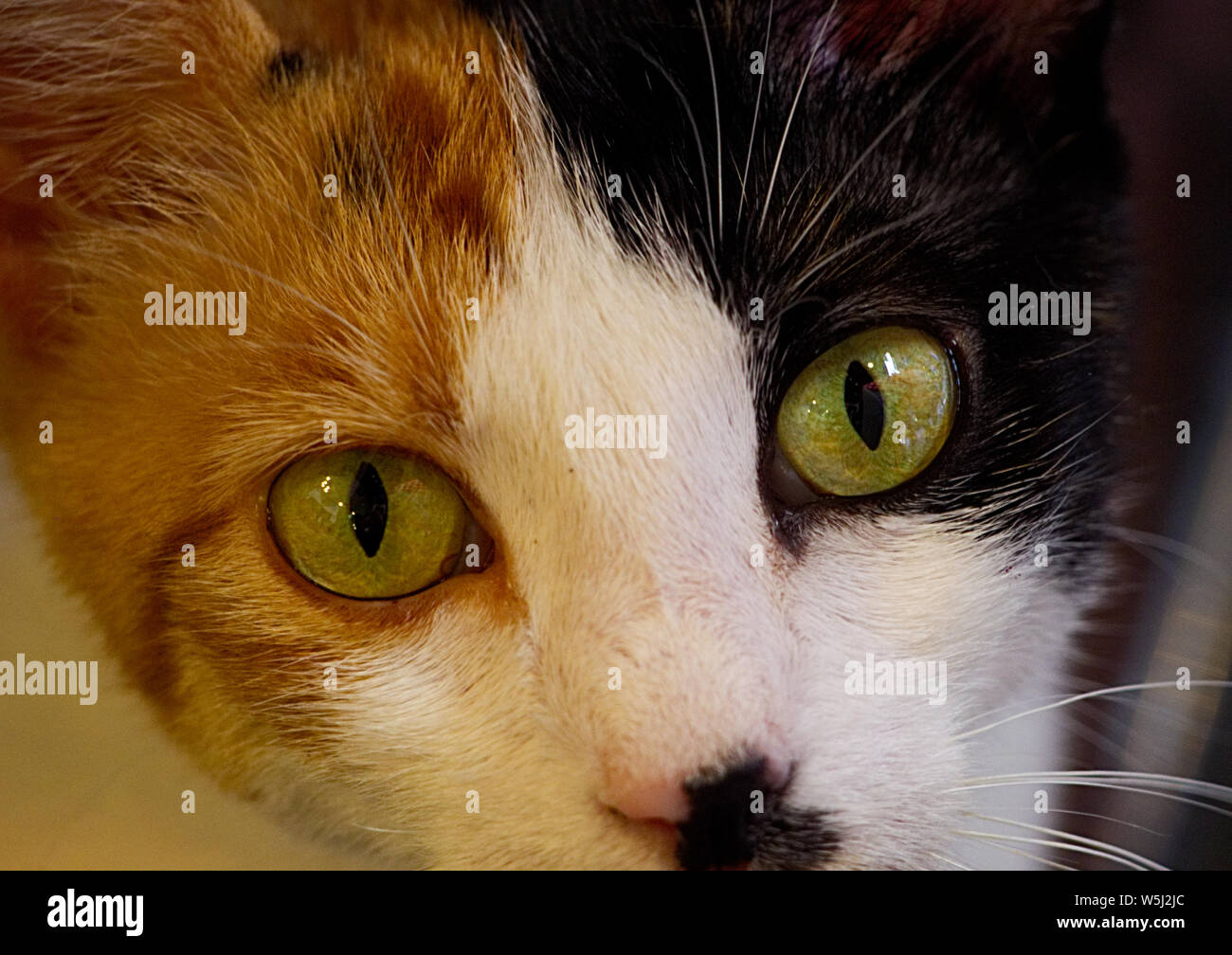 the face of a cat looking at camera Stock Photo