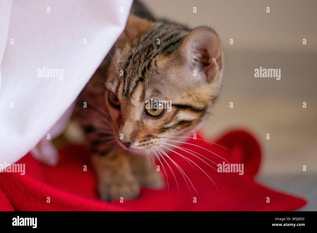 Beautiful bengala cub cat in its home Stock Photo