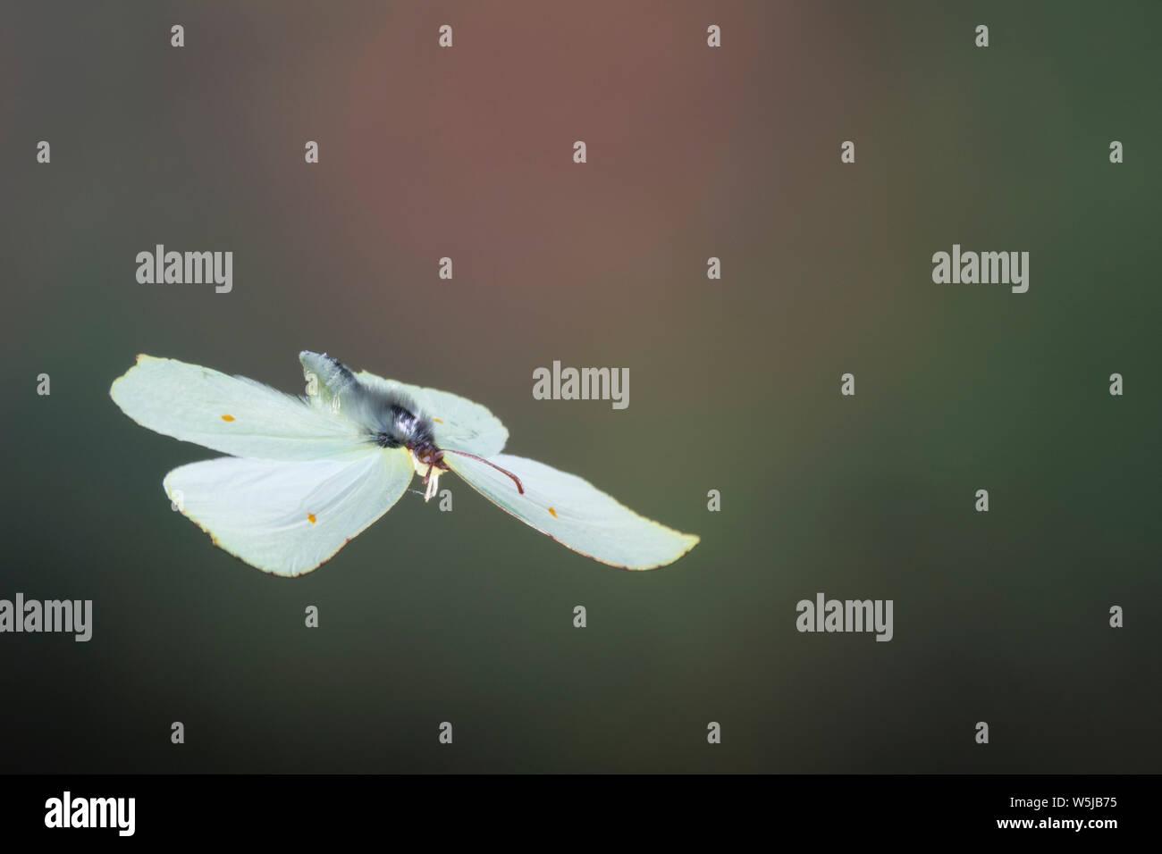 Zitronenfalter, Flug, fliegend, Zitronen-Falter, Gonepteryx