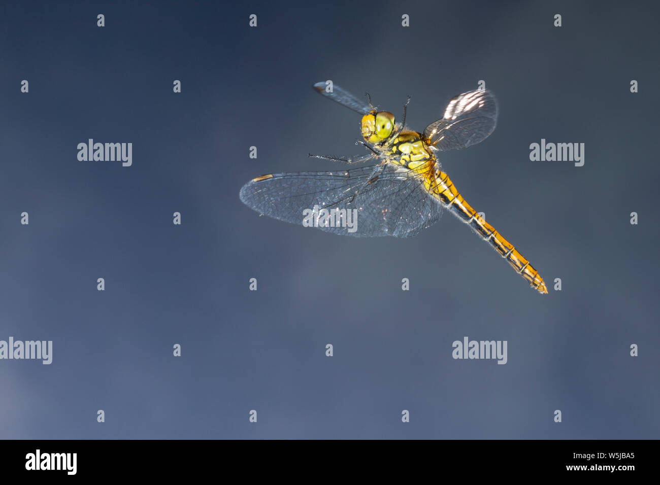 Blutrote Heidelibelle, Weibchen, Flug, fliegend, Sympetrum sanguineum, ruddy sympetrum, Ruddy Darter, female, flight, flying, Sympétrum sanguin Stock Photo