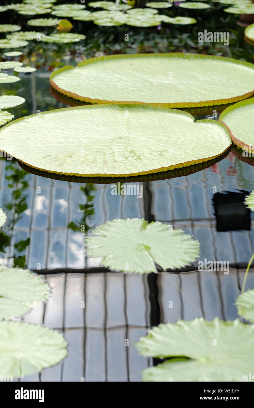 Huge round leaves of tropical lilies on the surface of the reservoir in the botanical garden Stock Photo