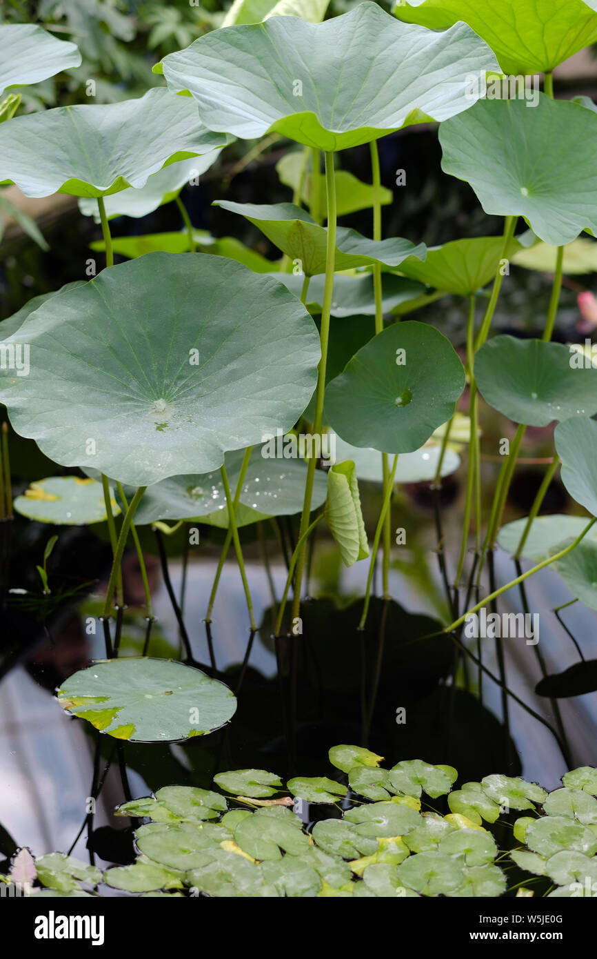 Leaves of lotus and water lilies on the surface of the pond Stock Photo