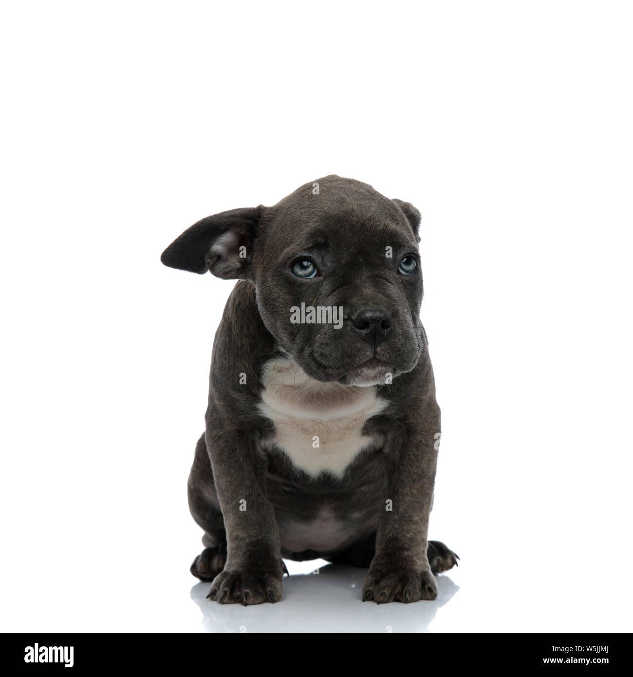 American Bully Dog Stock Photos & American Bully Dog Stock