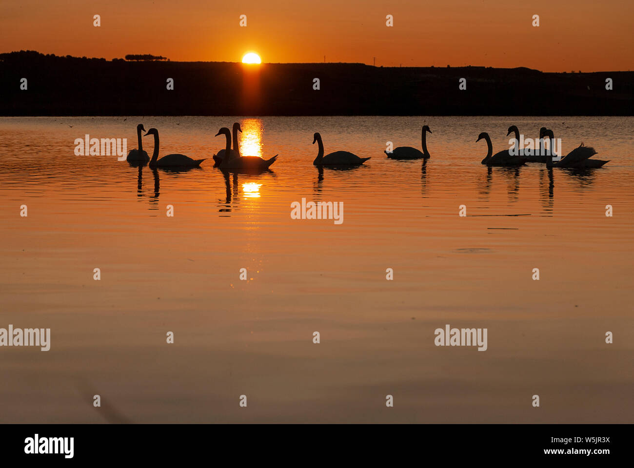 gang of swans at sunrise. Shadows and warm lights. Backlight. Silhouettes. Beautiful background. Stock Photo