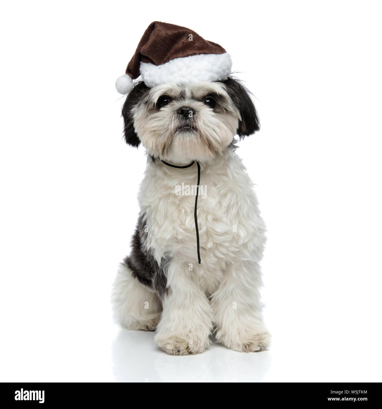 Cute Shih Tzu Wearing Santa Hat Sits On White Background Stock Photo Alamy