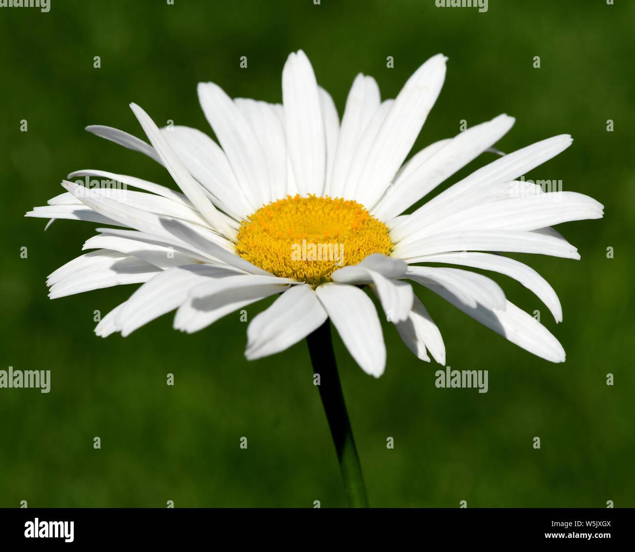 Chrysanthemum maximum Gruppenstolz Sommer-Margerite