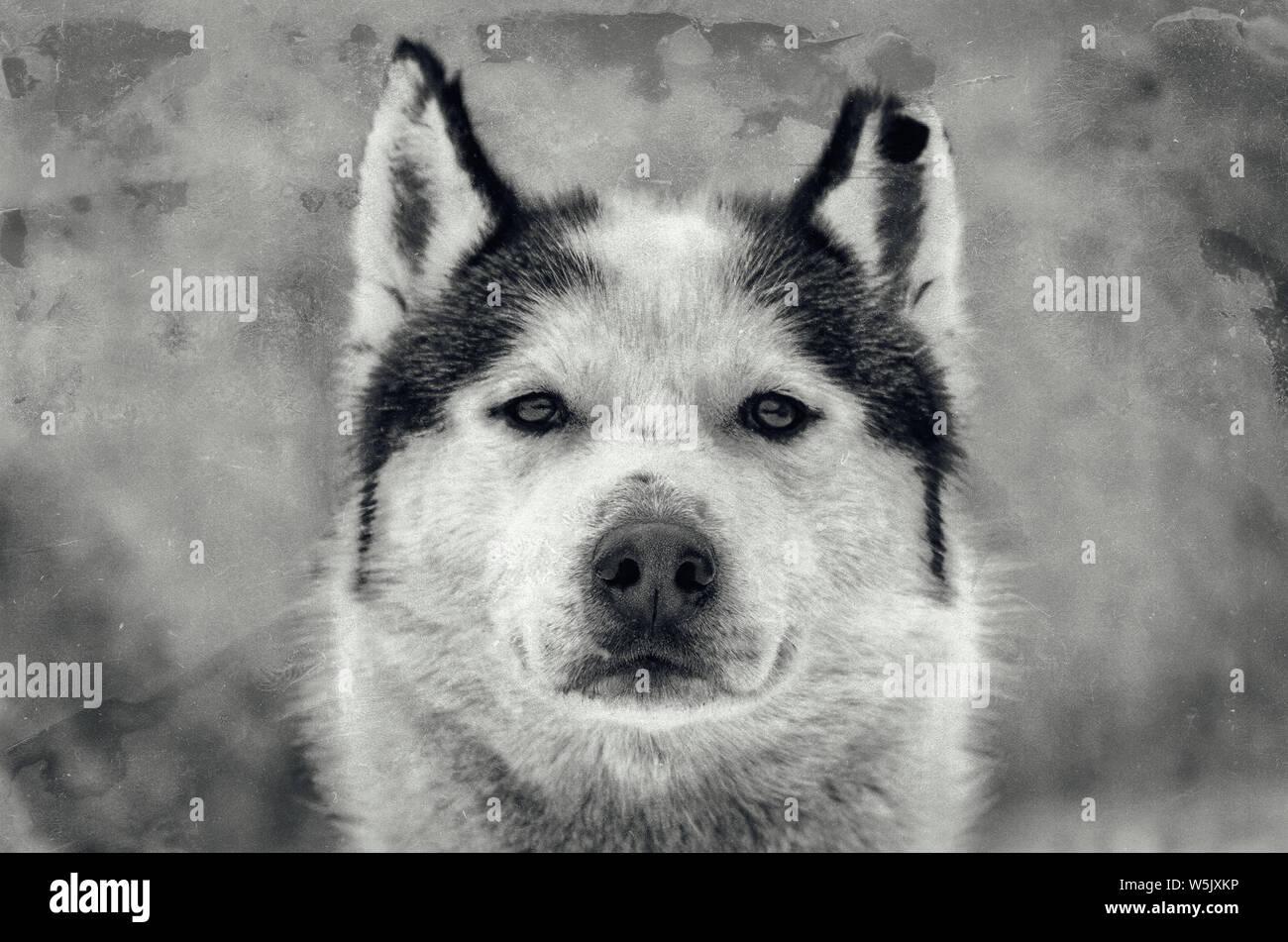 Siberian Husky dog portrait with chewed ear  Close up Husky