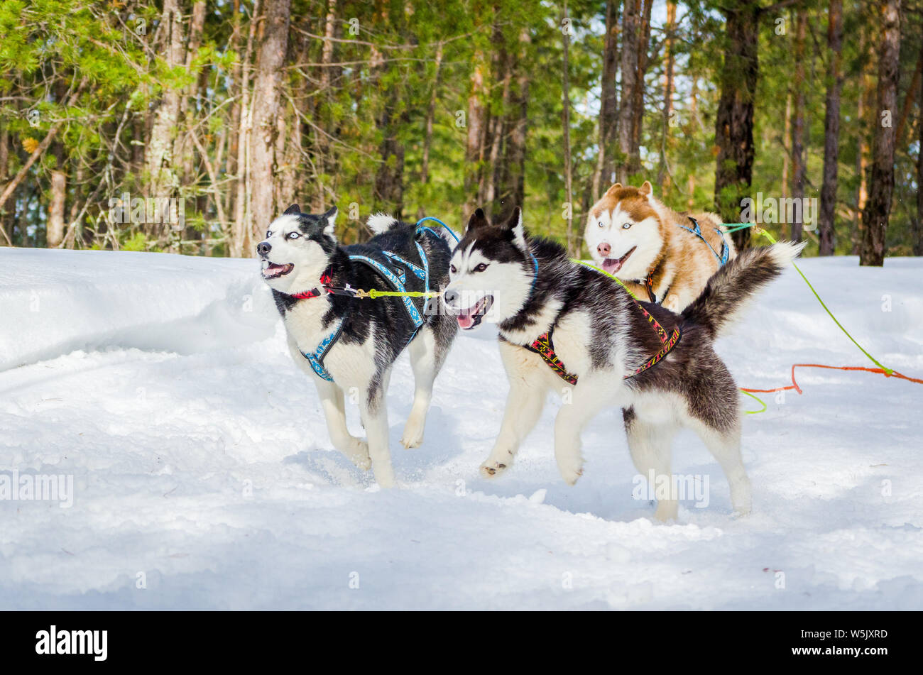 Three Siberian Husky sled dogs in harness rushing in the