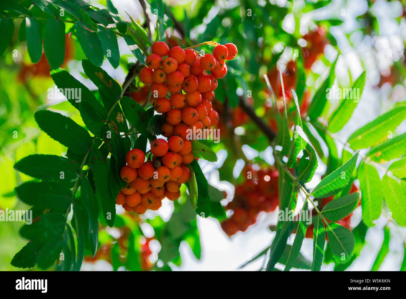 Rowan Berry Illustration High Resolution Stock Photography And Images Alamy Hd wallpaper rowan berries fruit plant