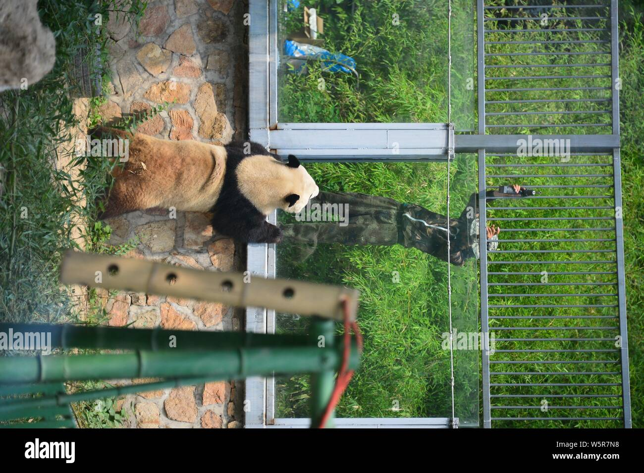 The giant panda Meng Lan interacts with a worker at the Beijing zoo in Beijing, China, 17 June 2019. Stock Photo