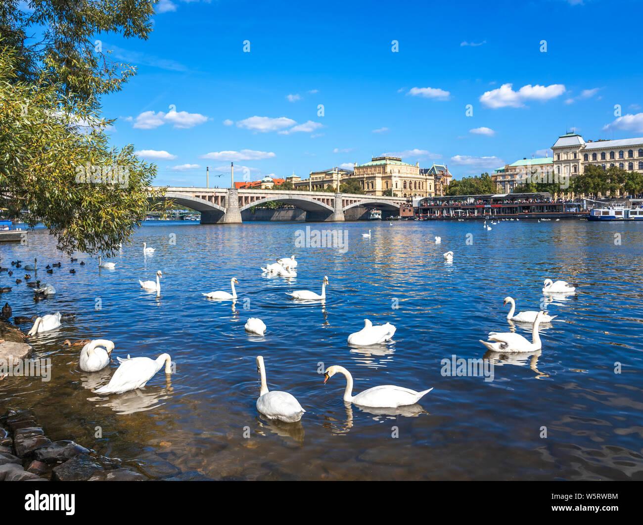 Swans on the Vltava River in the city of Prague, Czech Republic. Stock Photo