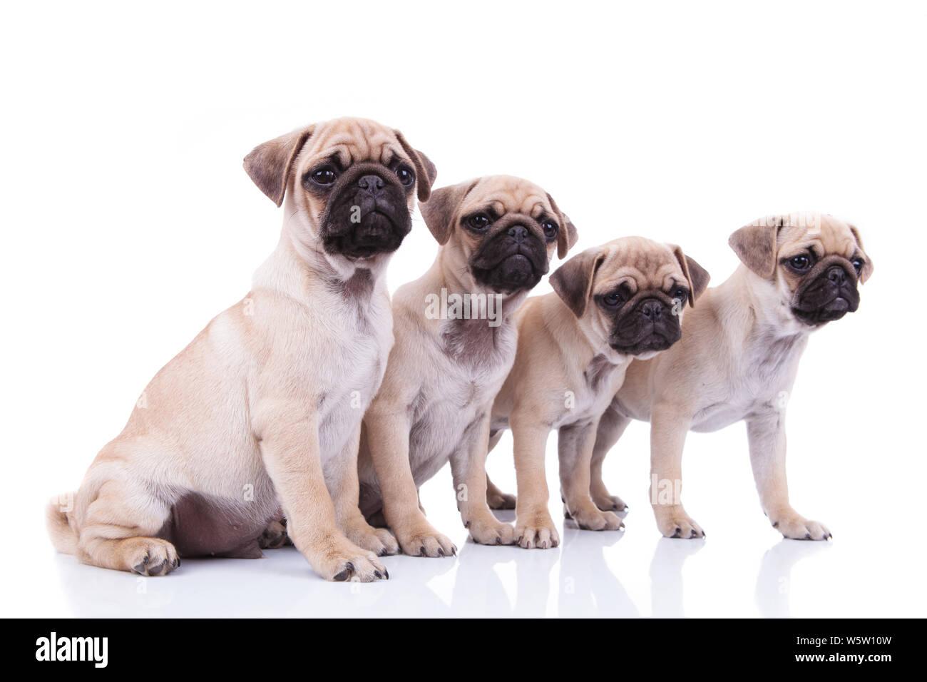 Pugs Group Stock Photos & Pugs Group Stock Images - Alamy