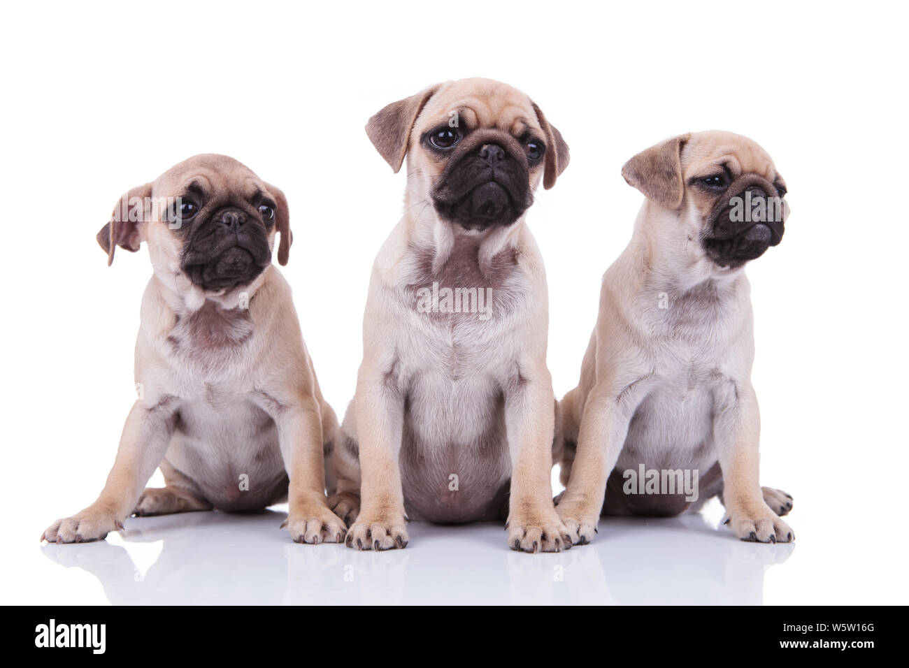 Group Of Pugs Stock Photos & Group Of Pugs Stock Images - Alamy