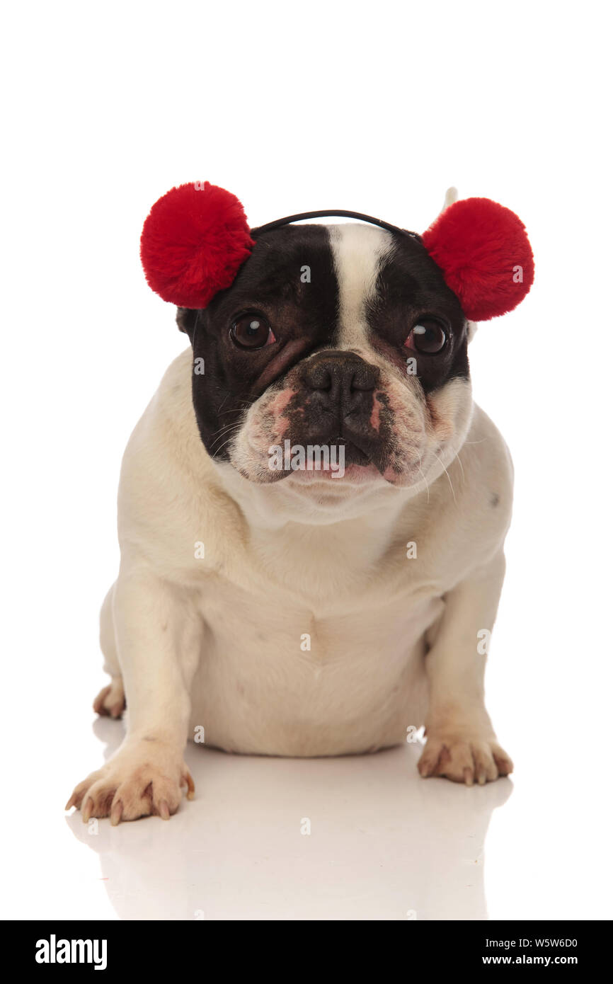 adorable french bulldog wearing red earmuffs looks at camera while sitting on a white background Stock Photo