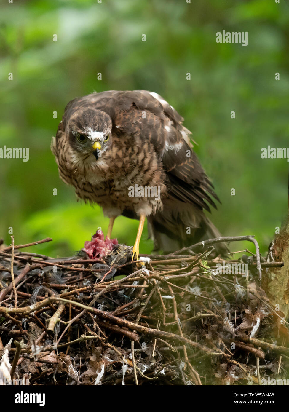 a sparrowhawk accipiter nisus fledgling feeding itself on the nest lincolnshire W5WMA8