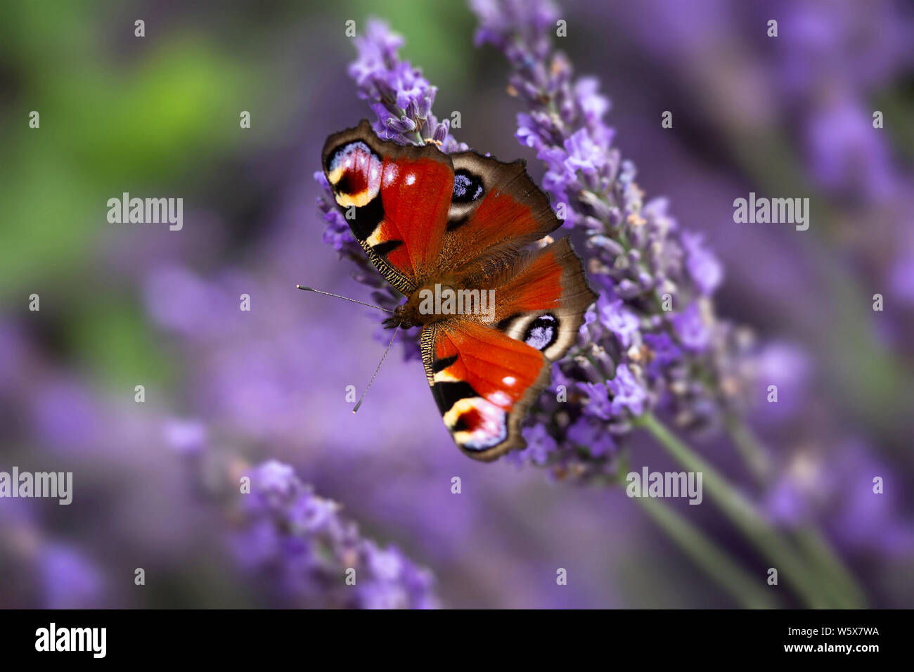 Aglais io, common name Peacock Butterfly, on lavender flowers Stock Photo