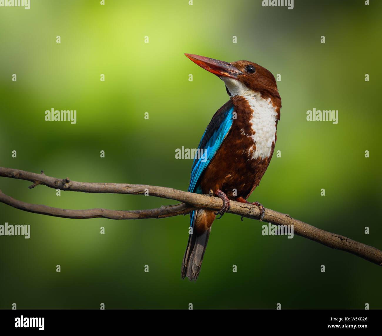 white-throated kingfisher Stock Photo