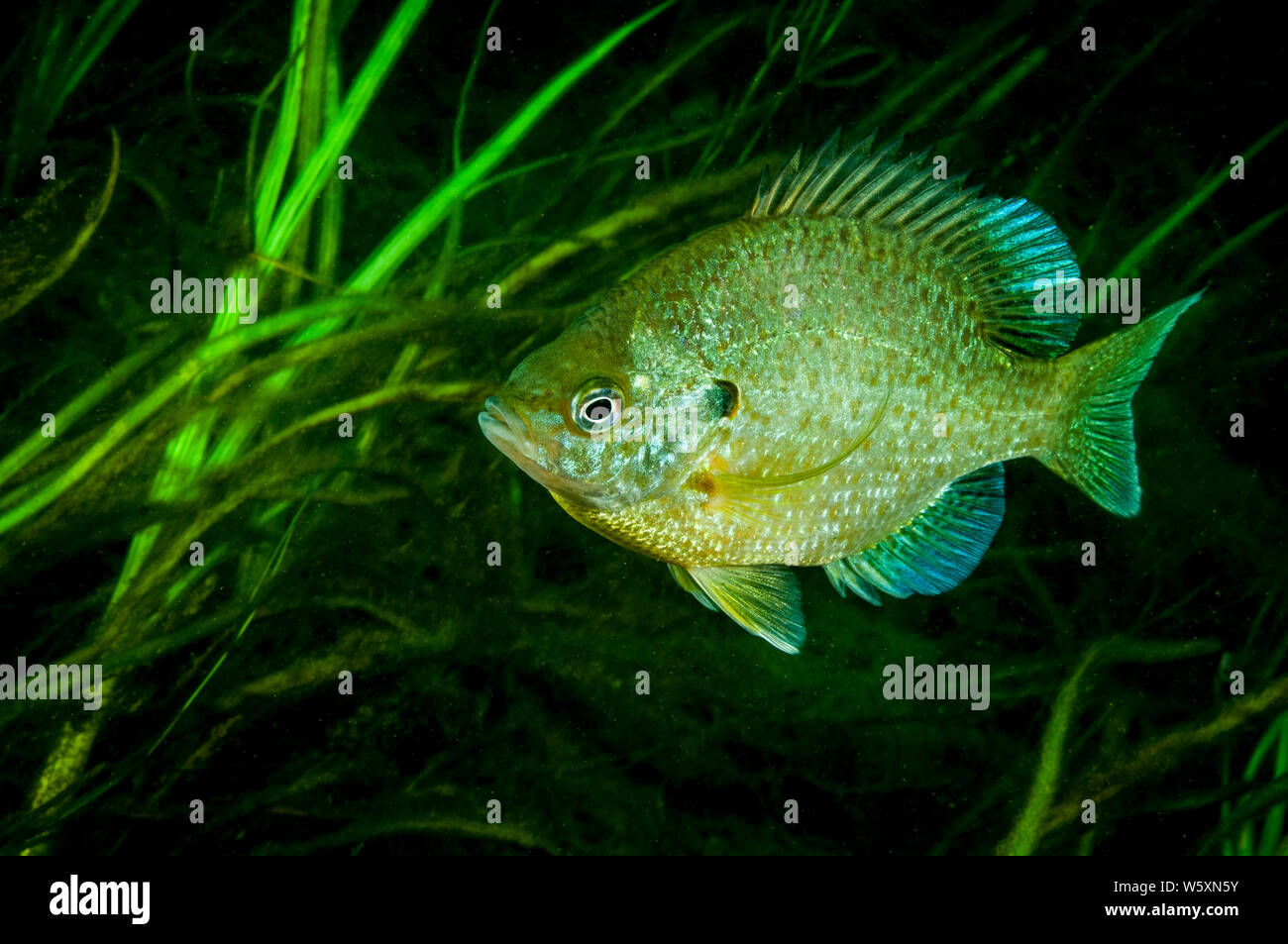 Pumpkinseed underwater in the St. Lawrence River Stock Photo