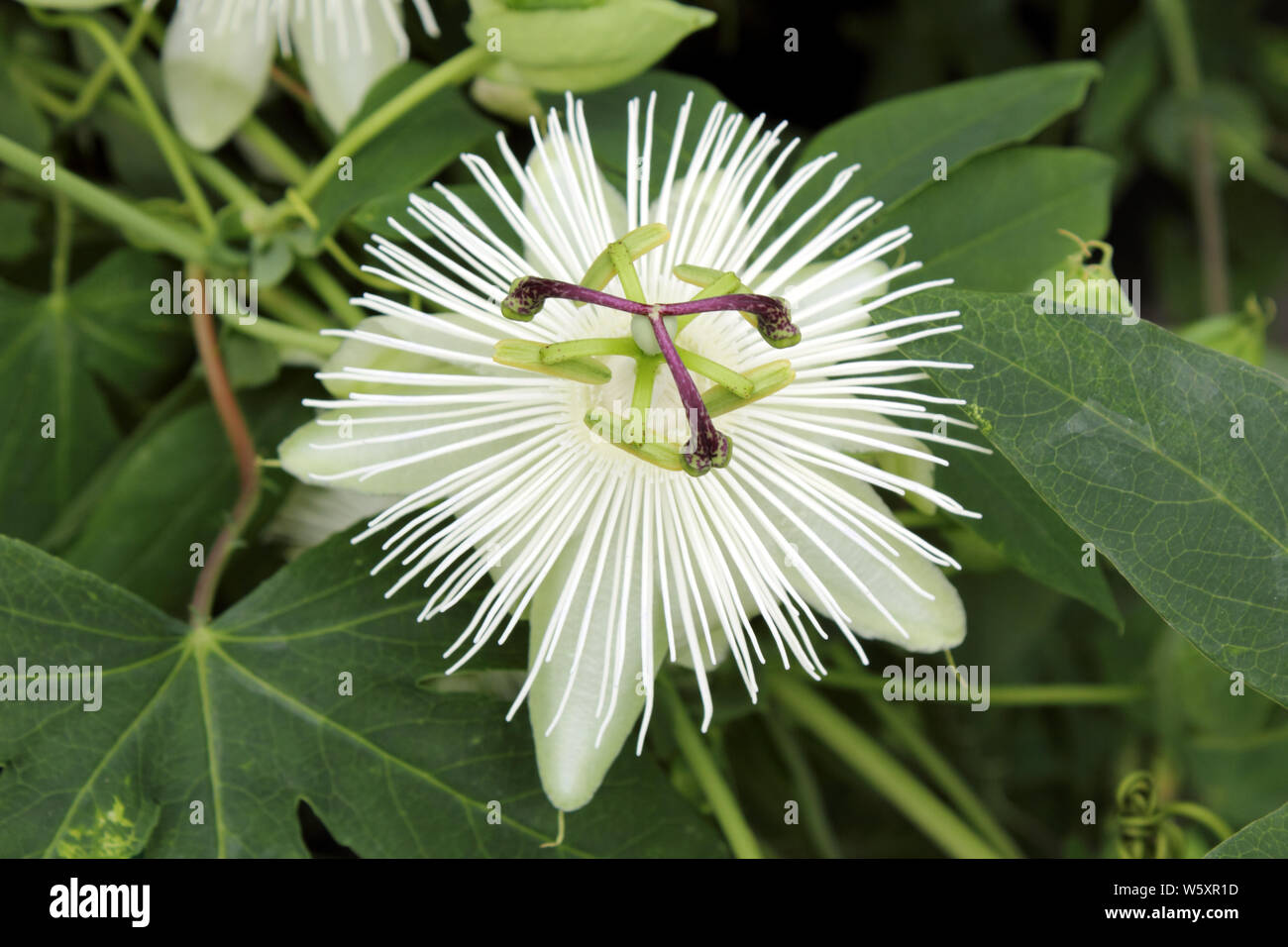 Close Up Of Flower Head Passiflora Constance Elliot Passion Flower