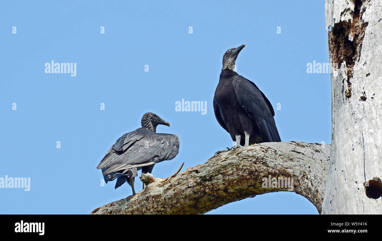 Pair of American black vultures with glossy black feathered wings, hooked beaks, standing in a rotted silvered trunk. Stock Photo