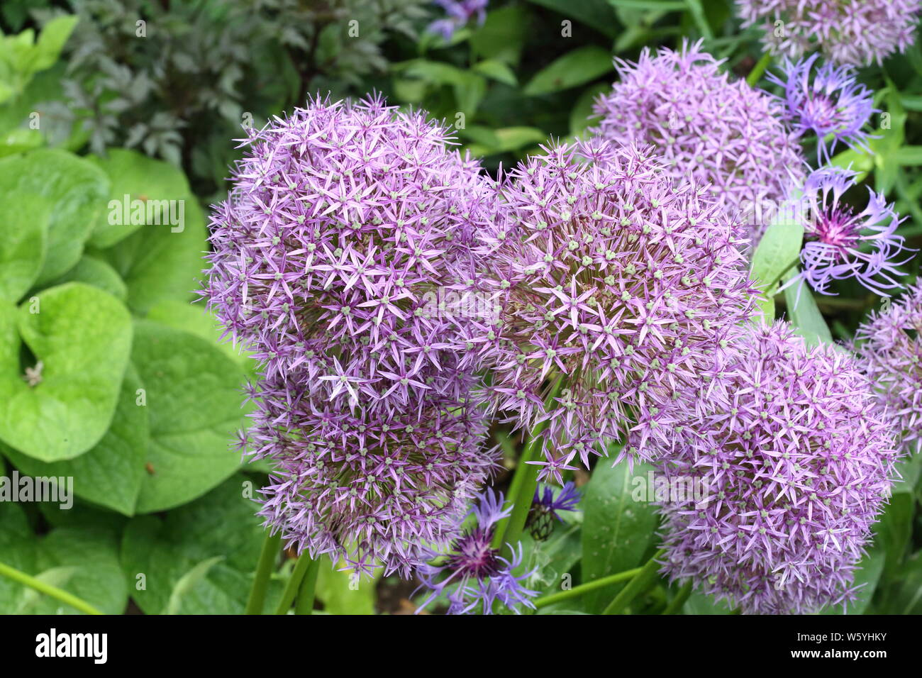 Open ball flower heads of allium plants Stock Photo