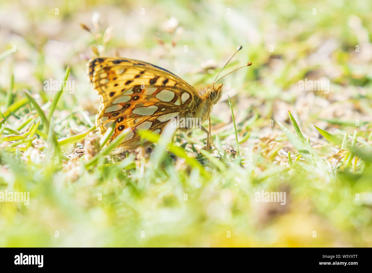 Queen of spain fritillary, issoria lathonia, butterfly resting in a meadow. Coastal dunes landscape, daytime bright sunlight. Stock Photo
