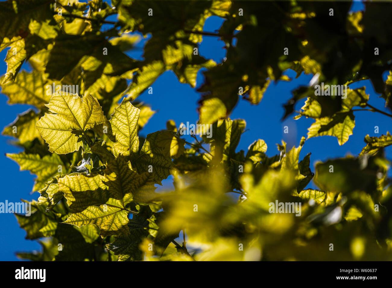 arbol y ramas del arbol Aliso, o Sicomoro de la especie es Platanus wrighti. Luz de dia. ree and branches of the tree Alder, or Sycamore of the species is Platanus wrighti. Daylight(Foto: LuisGutierrez/NortePhoto.com) Stock Photo