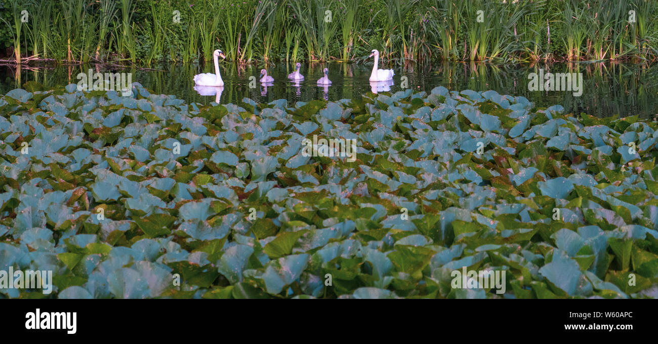 family group of swans with young sygnets relected in lake with lilies to foreground Stock Photo