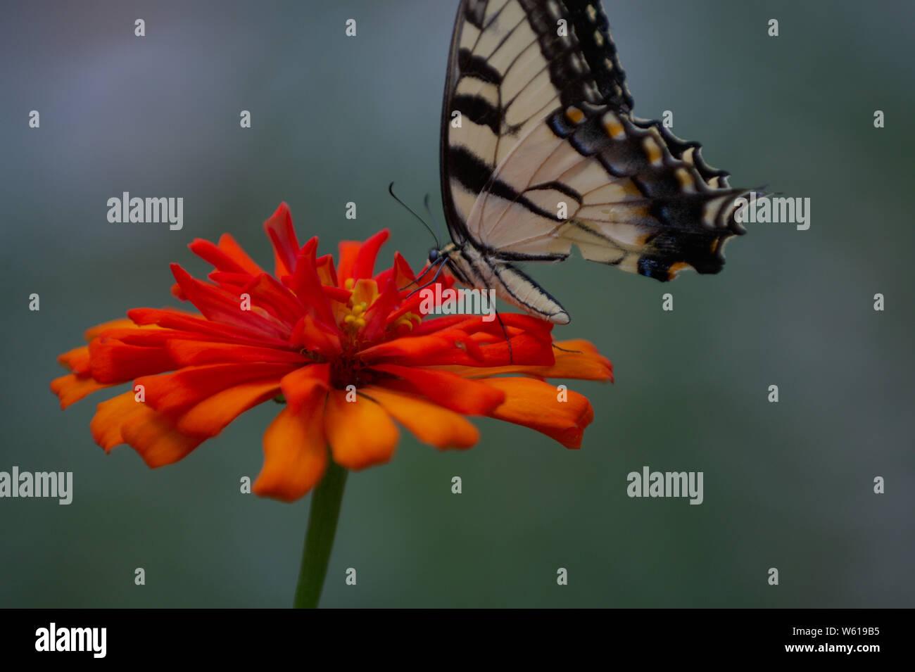 Isolated Eastern Tiger Swallowtail on orange flower Stock Photo