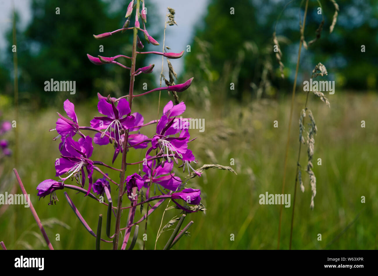 Medicinal plant: Epilobium Species, Blooming Sally, Fireweed, Great Willowherb, Rosebay Willow - tea like herb with beautiful pink flower and very use Stock Photo