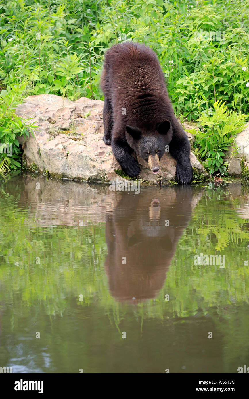 Black Bear, young at water, Pine County, Minnesota, USA, North America, (Ursus americanus) Stock Photo