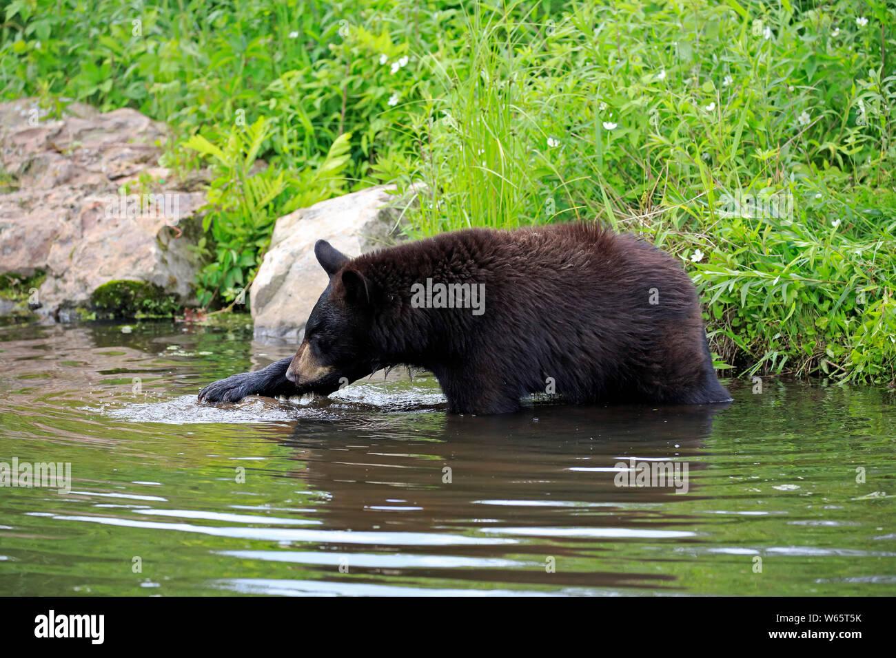 Black Bear, young at water, Pine County, Minnesota, USA, North America, (Ursus americanus) Stock Photo