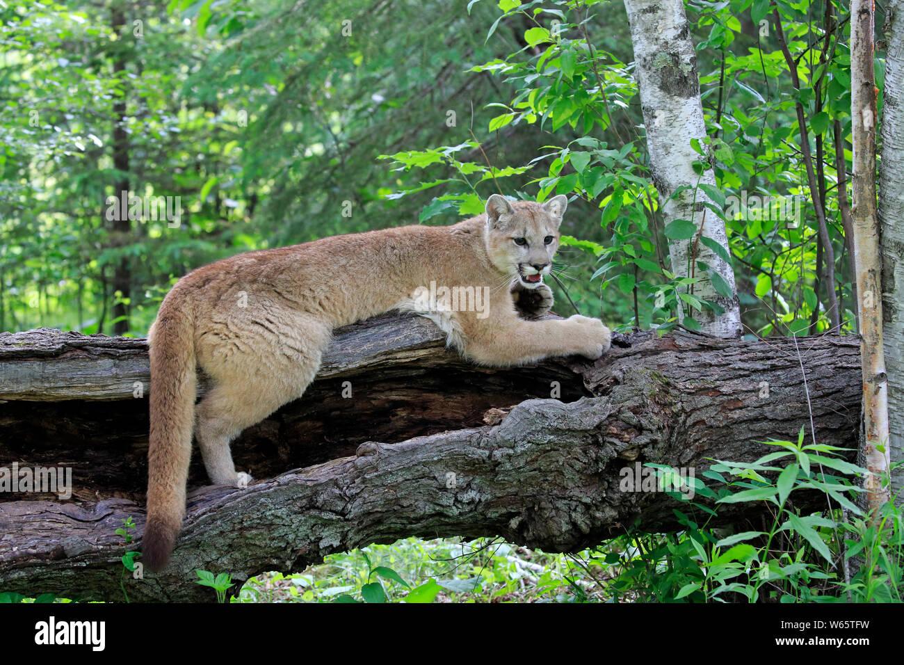 Puma mature fantasies