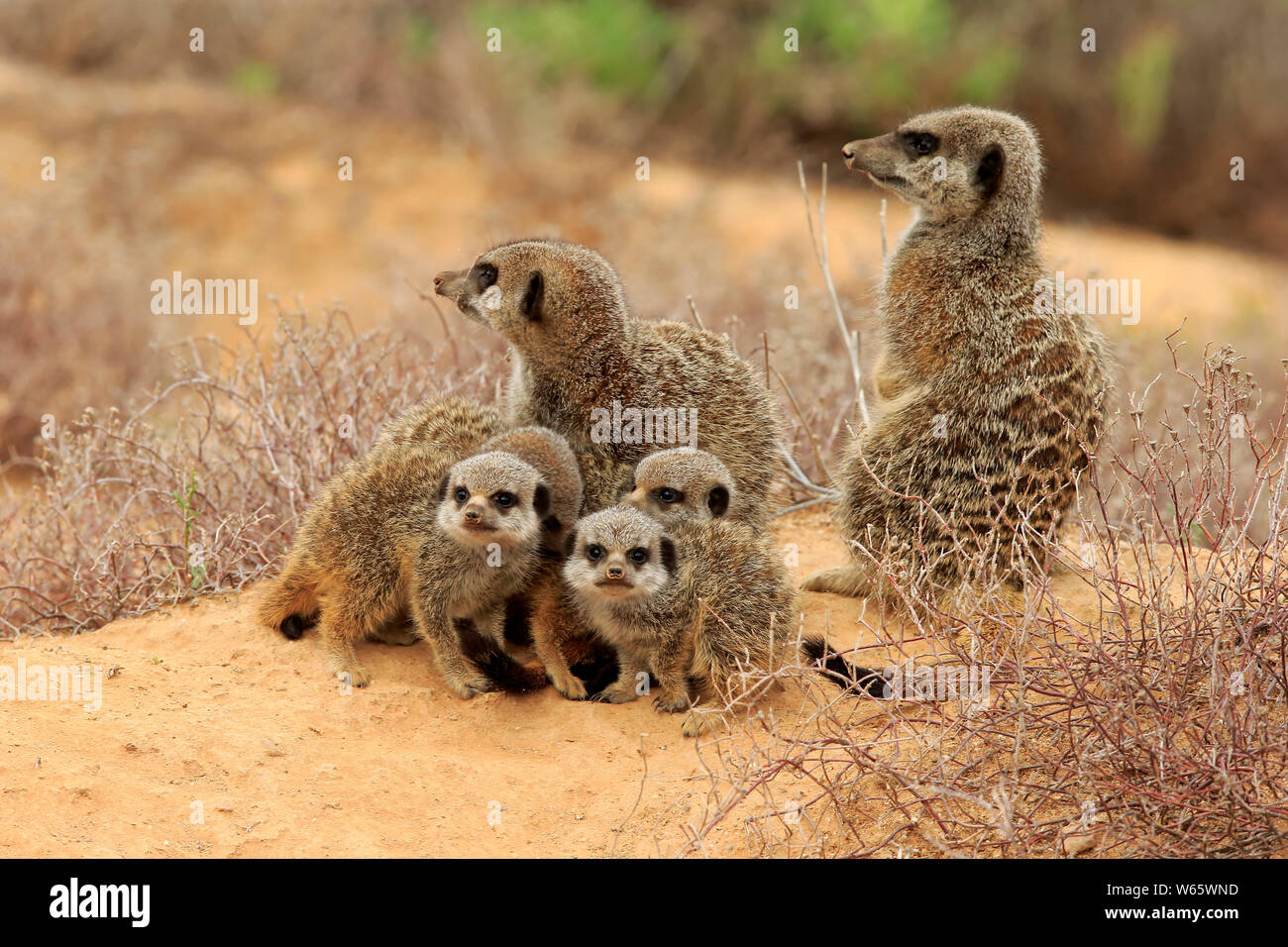 Suricate, Meerkat, adult with youngs, Oudtshoorn, Western Cape, South Africa, Africa, (Suricata suricatta) Stock Photo