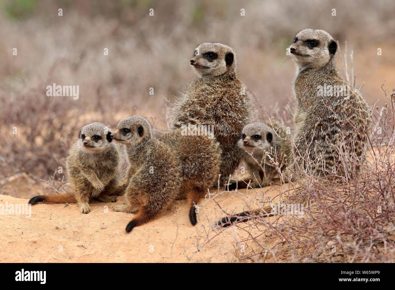 Suricate, Meerkat, adult with youngs, Oudtshoorn, Western Cape, South Africa, Africa, (Suricata suricatta) Stock Photo