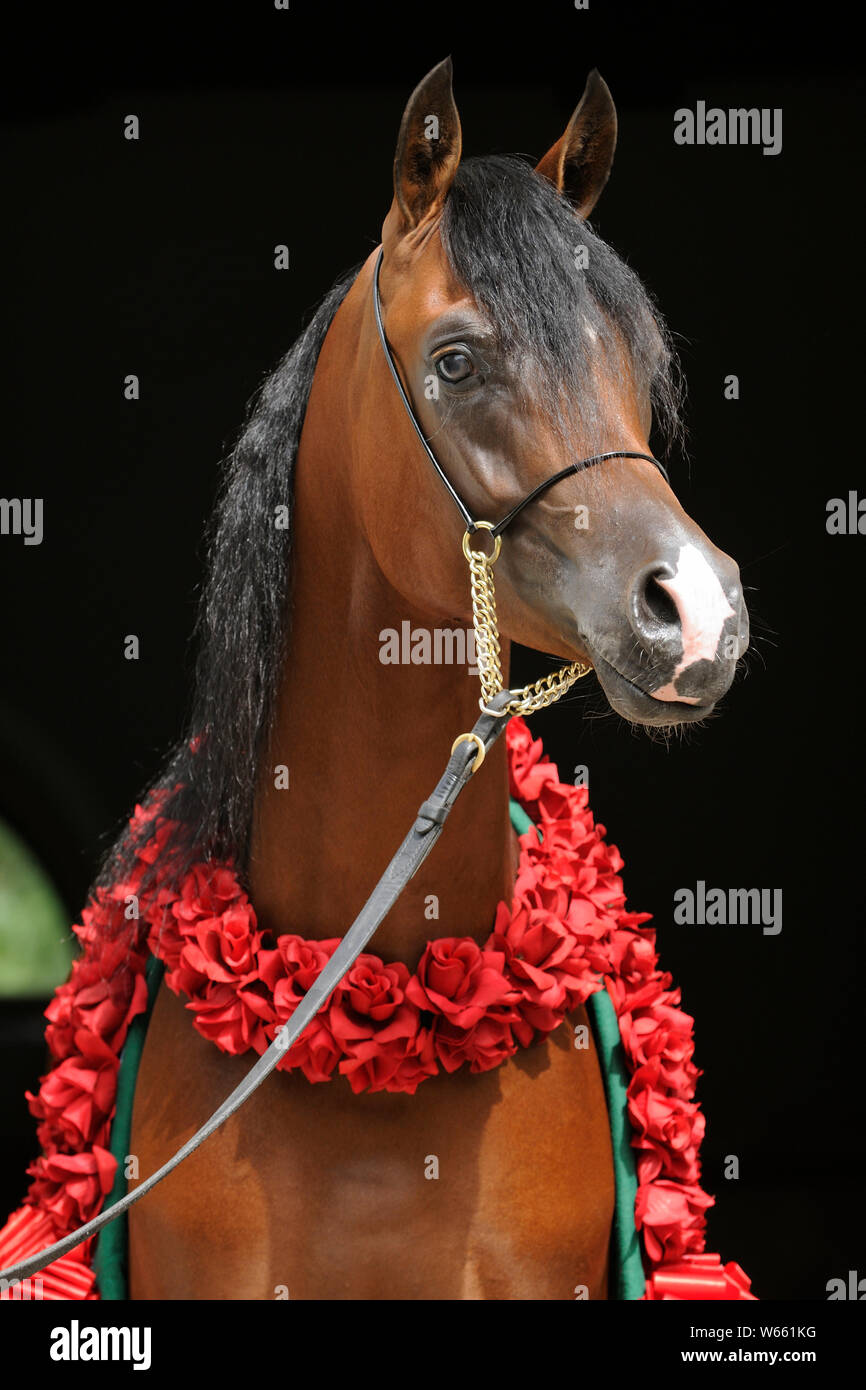 Brown Arabian Horse Stallion With Red Flower Wreath Stock Photo Alamy