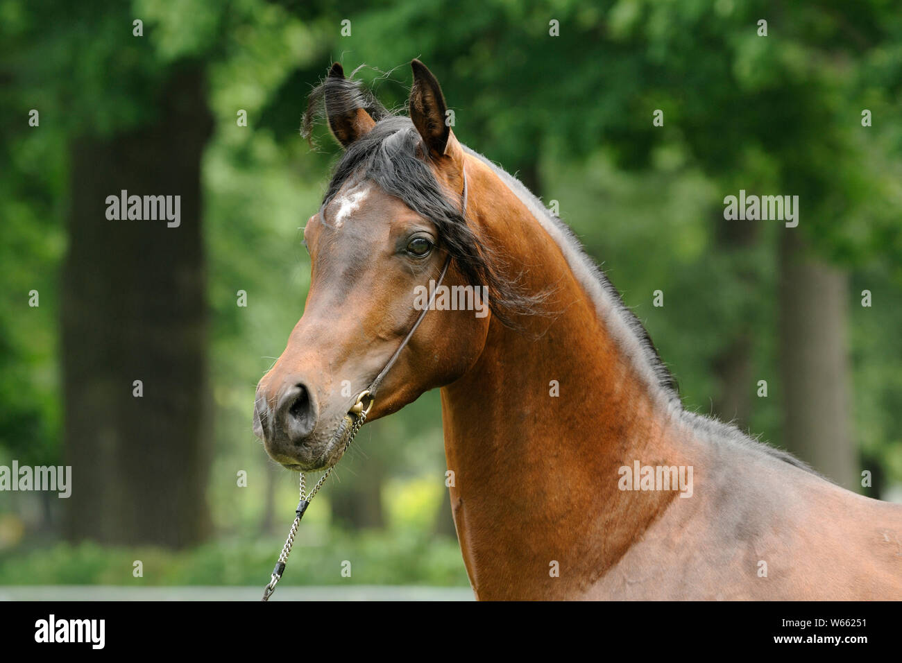 Brown Arabian Horse Stallion With Showholster Stock Photo Alamy