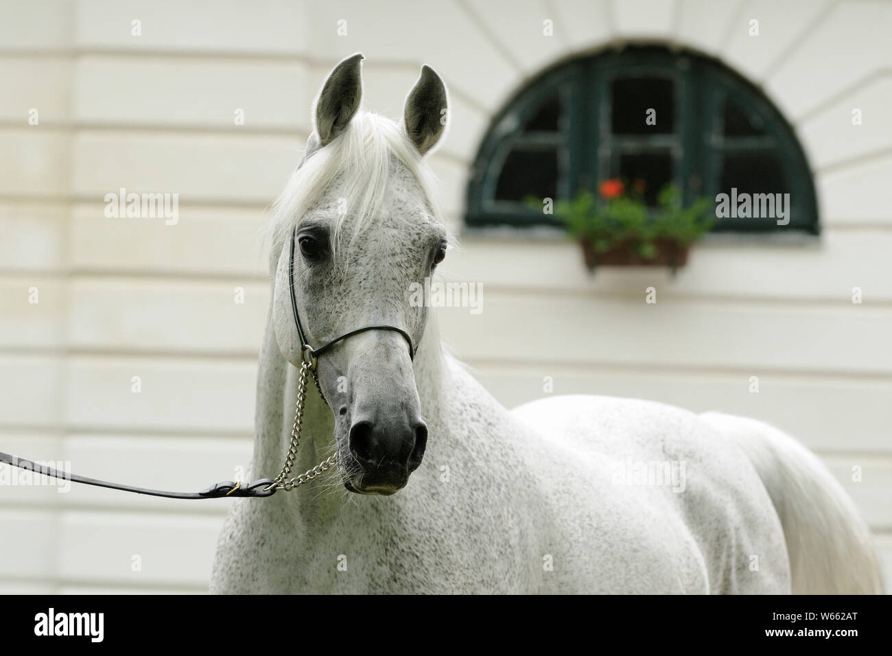 White Arabian Horse Stallion With Showholster Stock Photo Alamy