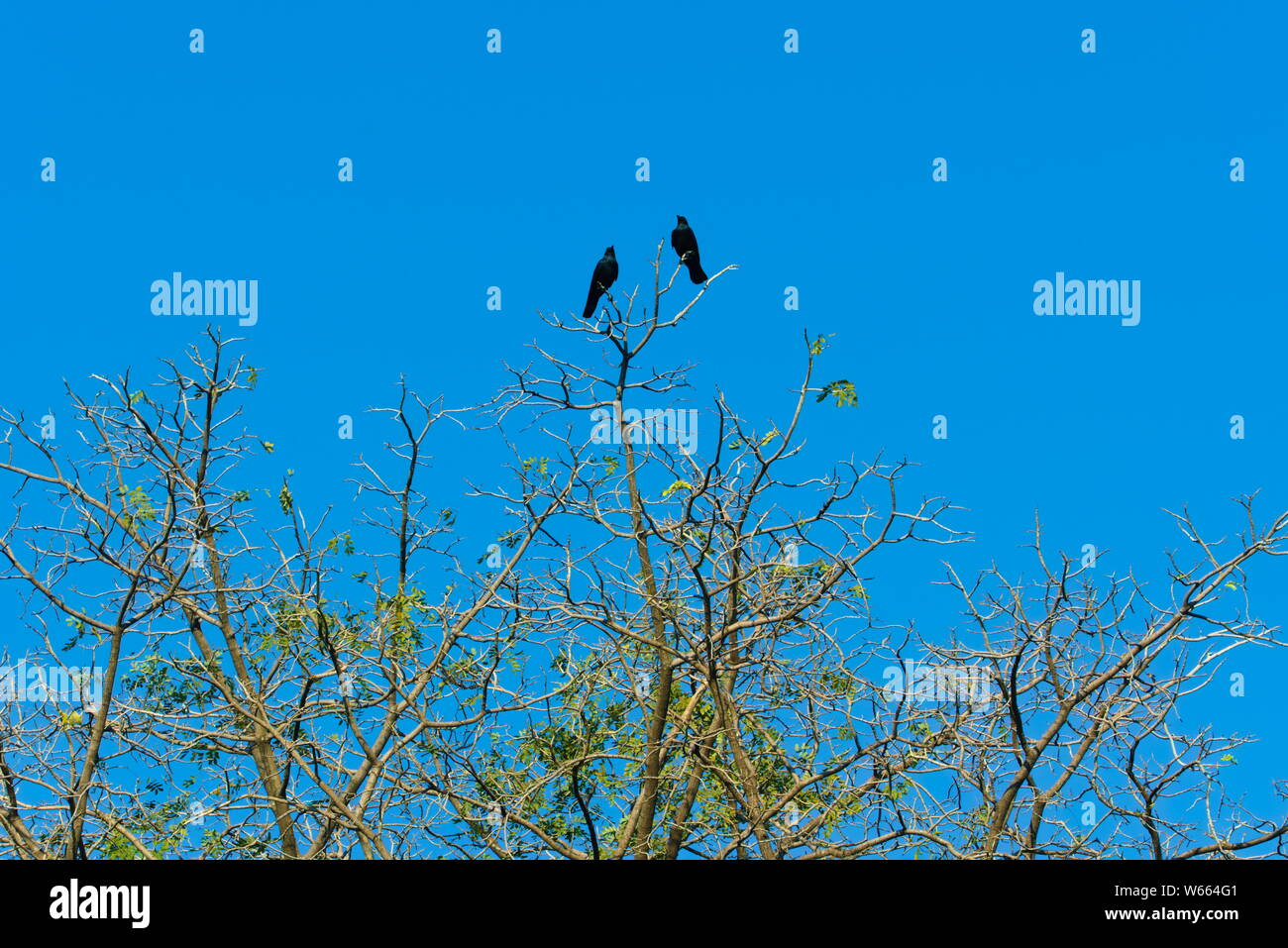 Two large black crows, sunning themselves atop a sparsely leaved tree, under a stunningly, deep blue, morning sky, in a park in Bangkok, Thailand. Stock Photo